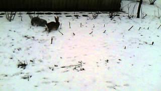 Вольное разведение кроликов. // Олег Карп(Вольное разведение кроликов является наилучшим методом. Кролики находятся постоянно на свежем воздухе,..., 2015-02-10T15:50:18.000Z)