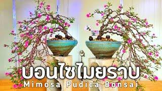 บอนไซไมยราบ  กำลังฮิตเลย Mimosa Pudica Bonsai
