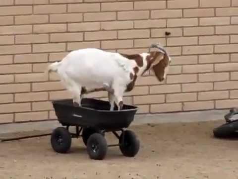 Коза катается на...