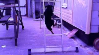Собака поднимается по лестнице!!!