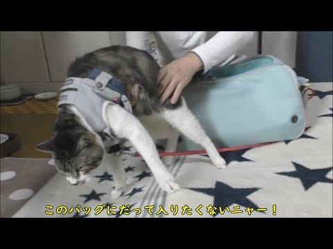 【爆笑】パパ大惨事!脱走しまくりの猫リキちゃんと格闘するパパ☆動物病院へ行く準備は大変【リキちゃんねる 猫動画】Cat video キジトラ猫との暮らし