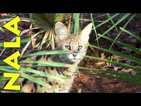 'Pet' African Serval Rescued
