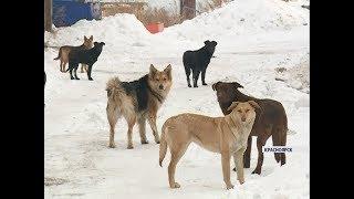 В Красноярске впервые пересчитают всех бездомных собак