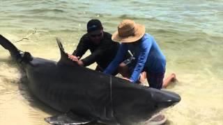 Video World Record Tiger Shark on Bullbuster Fishing Lines download MP3, 3GP, MP4, WEBM, AVI, FLV Juli 2017