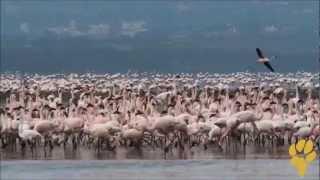 Дикая Африка. Природа Кении - фламинго озера Накуру