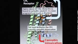 Pregnenolone can protect the brain from cannabis intoxication.