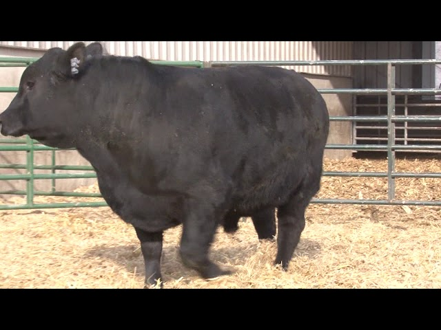 Schiefelbein Angus Farms Lot 372