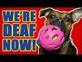 Loudest toy ever? - DOG TOY REVIEW | JW Pet Crackle Heads Ball Dog Toy
