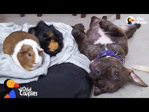 Pit Bull Dog Wins Over Her Guinea Pig Sisters   The Dodo Odd Couples