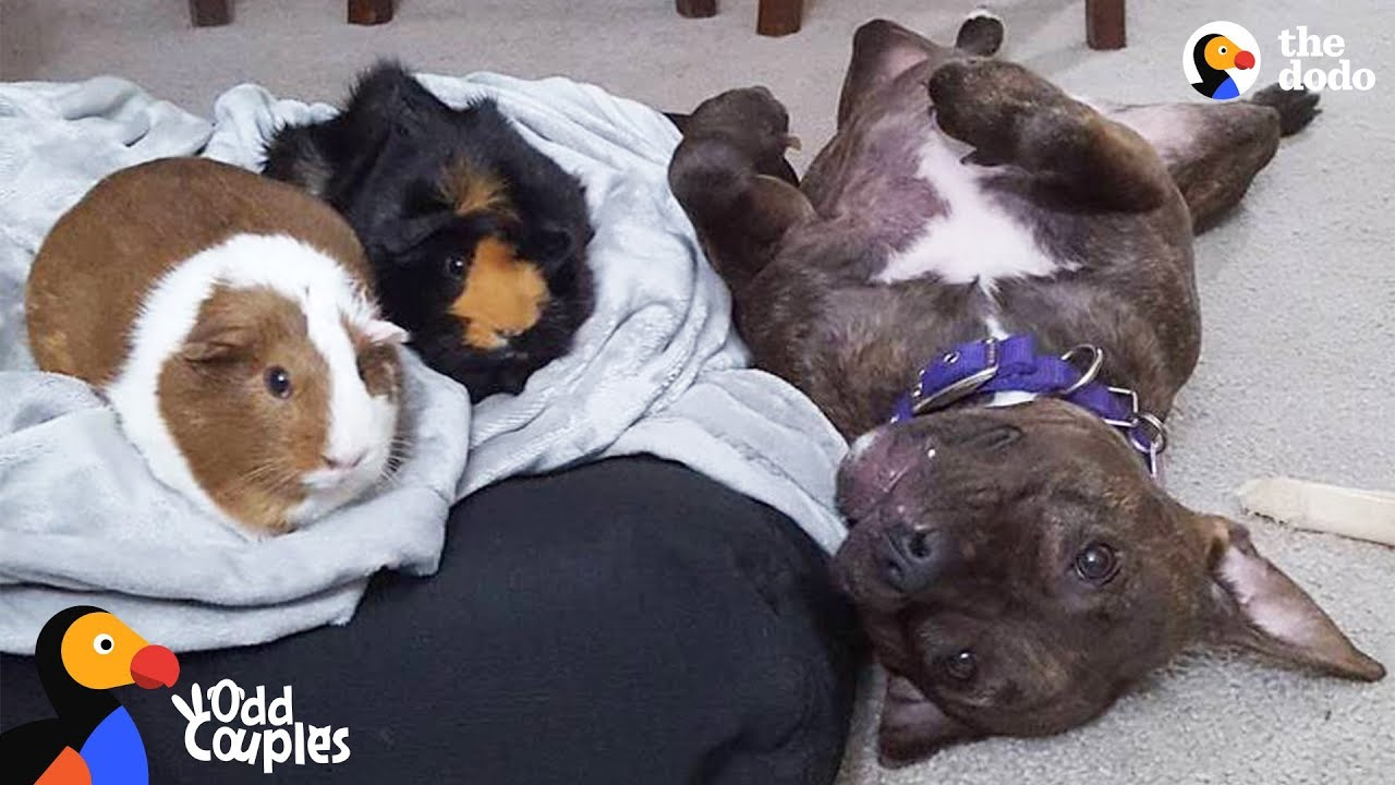 Animal Odd Couples Youtube pit bull dog wins over her guinea pig sisters | the dodo odd couples