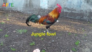 Roosters, Hens, Chickens - Animal video for Kids