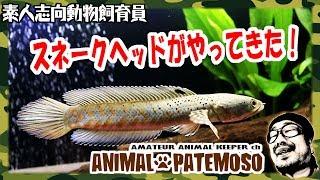 スネークヘッドがやってきた!【チャンナ・プルクラ】【熱帯魚】 【アクアリウム】