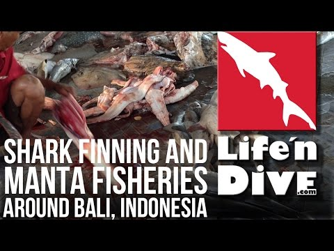 Shark Finning and Manta Fisheries around Bali, Indonesia - Interview with Björn Ericksson