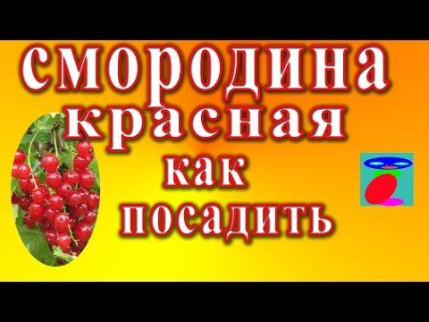 Как правильно посадить красную смородину осенью видео