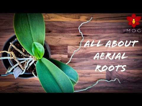 Aerial Roots On Orchids - Why They Appear & How To Care For Them? | Orchid Care Tips For Beginners