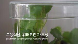 수생식물 워터코인 가드닝 Planting Hydroco…