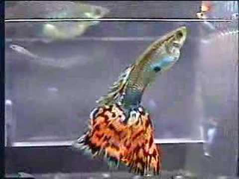 "how-guppies-are-born---""big-mama""-guppy-giving-birth"