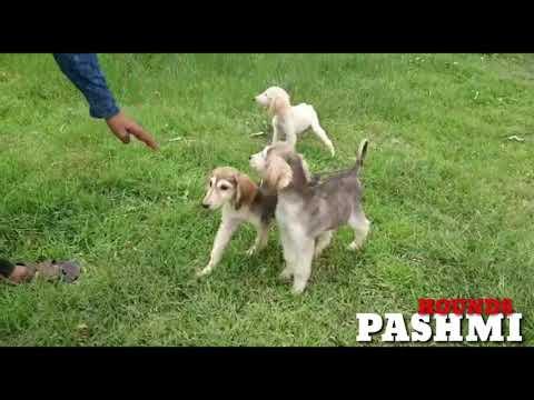 Pashmi Hound Puppies. Caravan Hound, Indian Saluki, Mudhol Hound Pups
