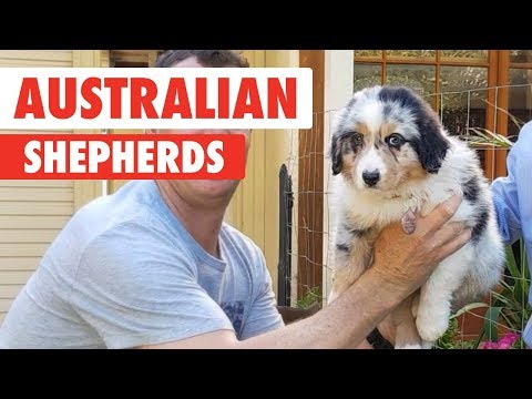 Breed All About It: Australian Shepherds