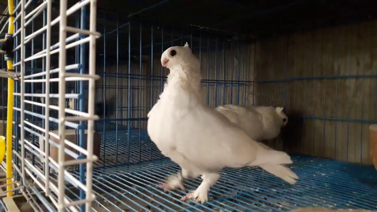 The Egyptian Pigeon الكشكات الحمام البنيدي Youtube