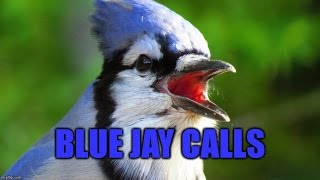 Blue Jay Song - The Gurgle-bob and 2 Other calls