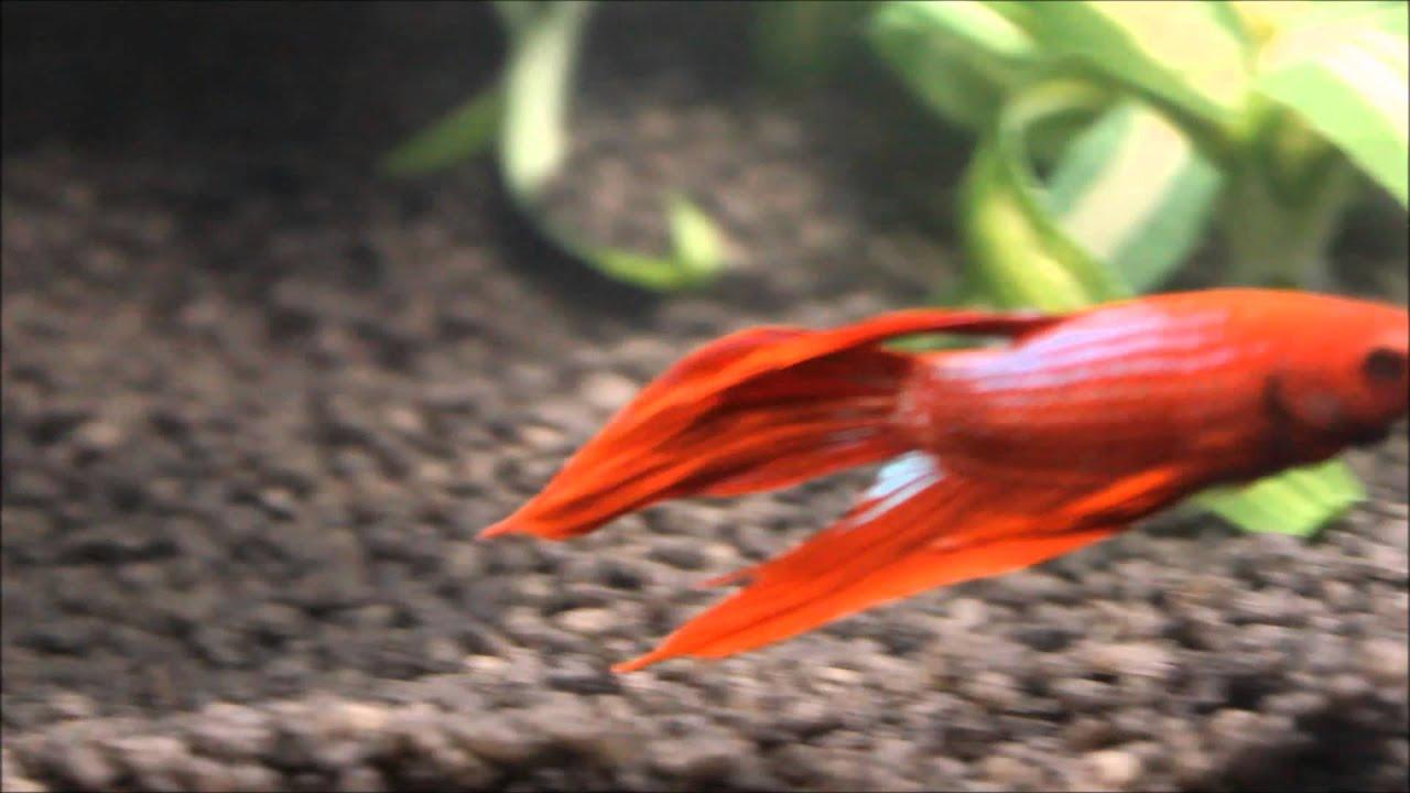 Red Betta in 5g Aquarium