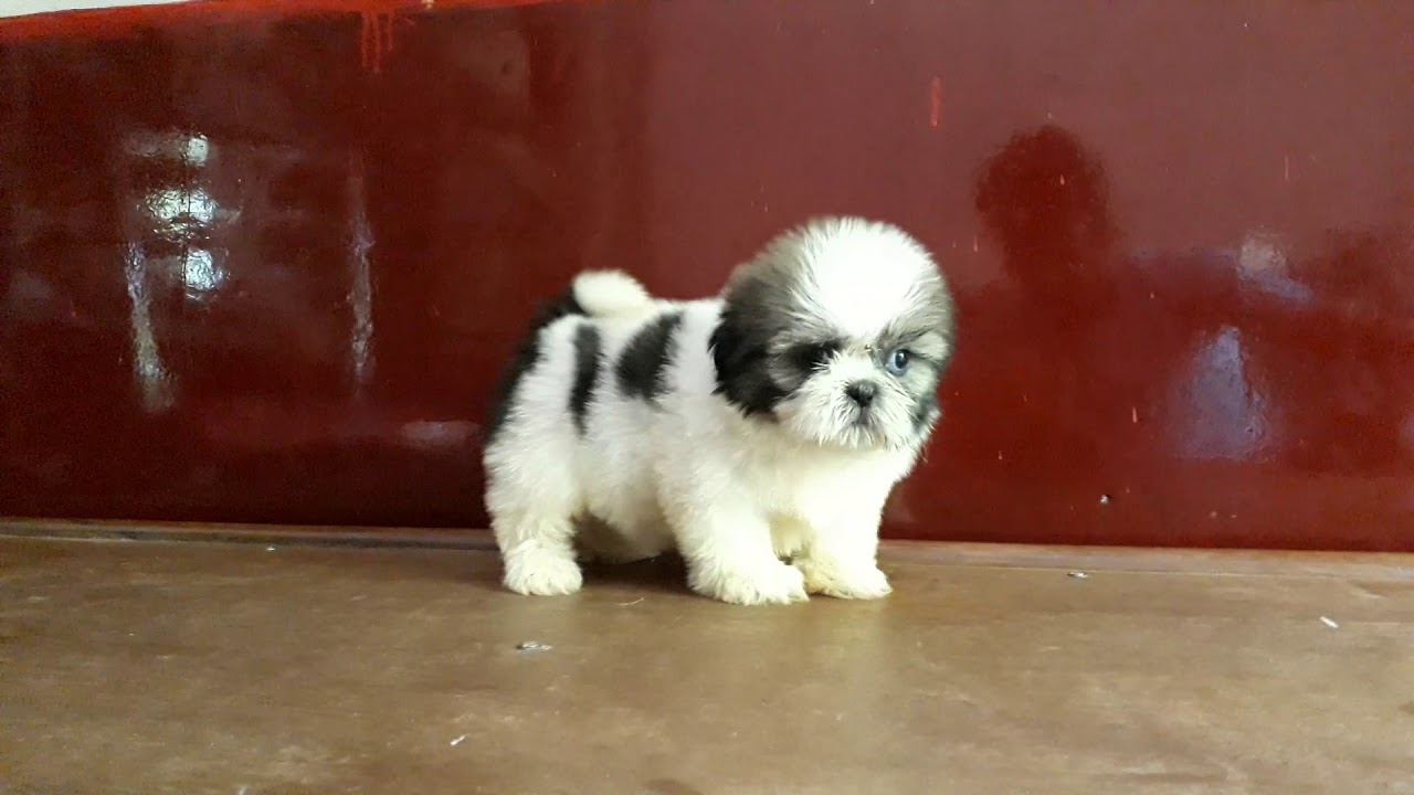 Shihtzu Pups In India Bangalore You