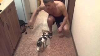 """Как научить собаку ходить на передних лапах (команда """"Руки"""")"""