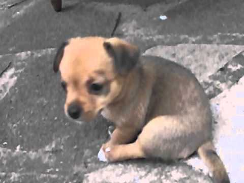 5 Week Old Chihuahua X Jack Russell Puppies Playing Outside