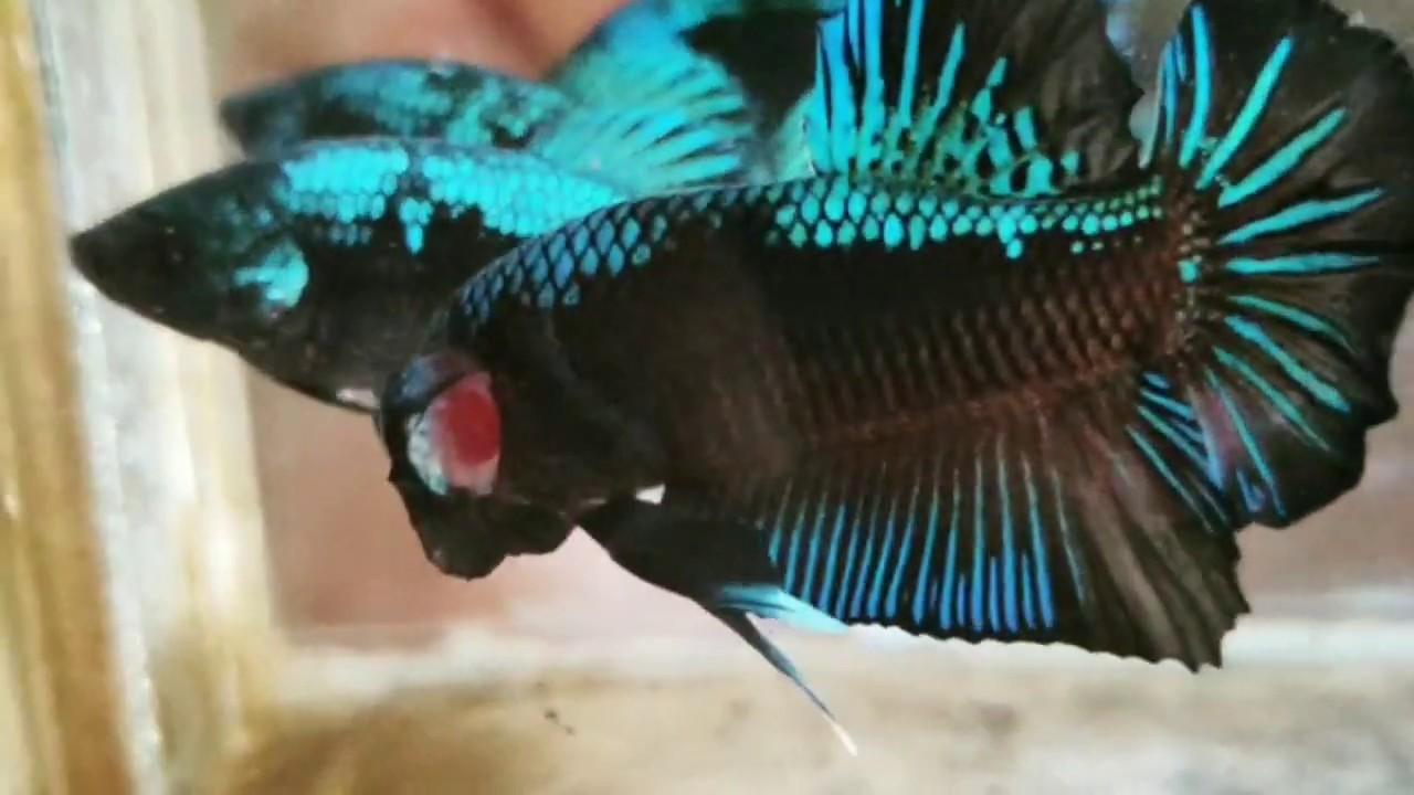 Cendolan Avatar Ikan Cupang Hias Youtube
