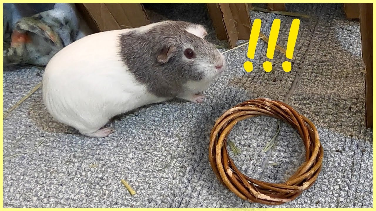 Guinea pig is afraid of a chew toy