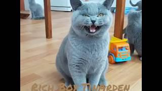 Британский кот голубого окраса Rich Boy TinArden.