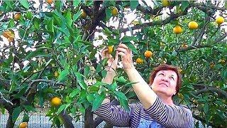 Сбор урожая мандаринов, хурмы, лимонов.