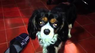 Trottolo In Action - A Crazy Cavalier King Charles Spaniel Tricolor -