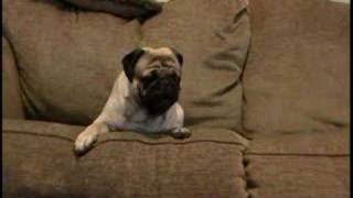 cry baby pug crys like a baby for his toy