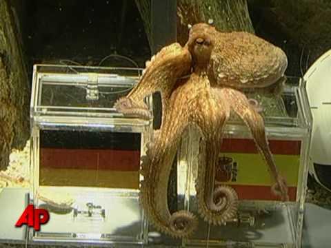 Raw Video: Oracle Octopus Picks Spain