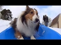 Roxie the sledding dog goes viral