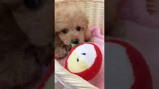 ペットショップ 犬の家 碧南店 「トイプードル♂」「問い合わせ番号:90128」 thumbnail