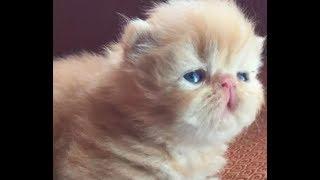 Persian cat -cute Funny video part 2