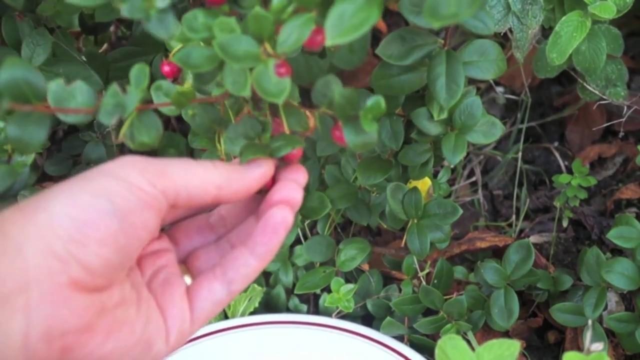 Clafoutis Recipe (using Chilean Guava)