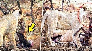 हिरन खा रही थी शेरनी, तभी अंदर से निकली ऐसी चीज