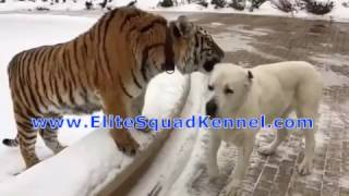 Central Asian Shepherd / Alabai playing with Tiger