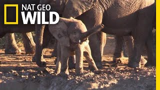 Why Is This Baby Elephant Swinging Its Trunk Like a Helicopter? | Nat Geo Wild