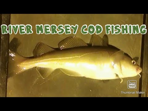 Cod Fishing On The River Mersey 2019