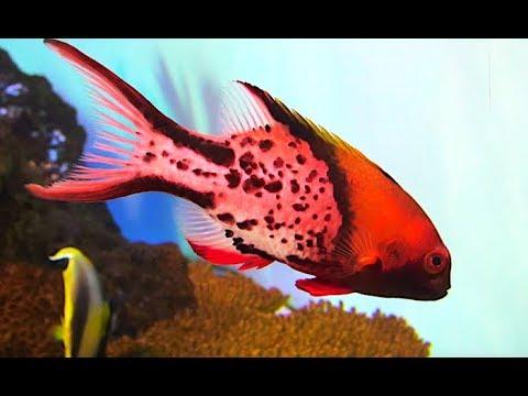ヒオドシベラ  Lyretail Hogfish Bodianus Anthioides