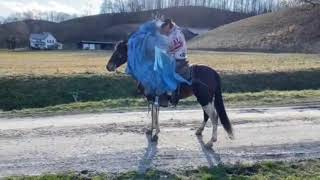 Patches very pretty spotted gaited trail horse for sale