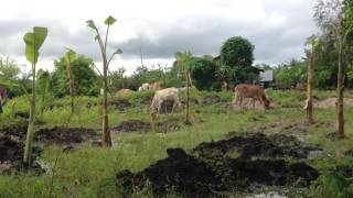 Banana Planting, Mistake of Banana Planting without fencing ការដាំចេក កំហុសដាំចេកដោយគ្មានរបង#3