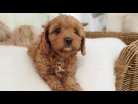 Sienna's Toy Cavoodle Girl A - Pocket Puppies