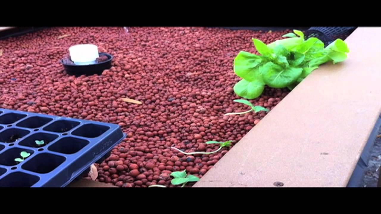 worse than piranah how to feed tilapia aquaponics youtube