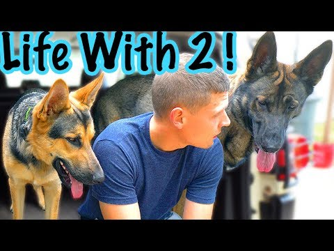 5 Reasons 2 German Shepherds are Better than 1!